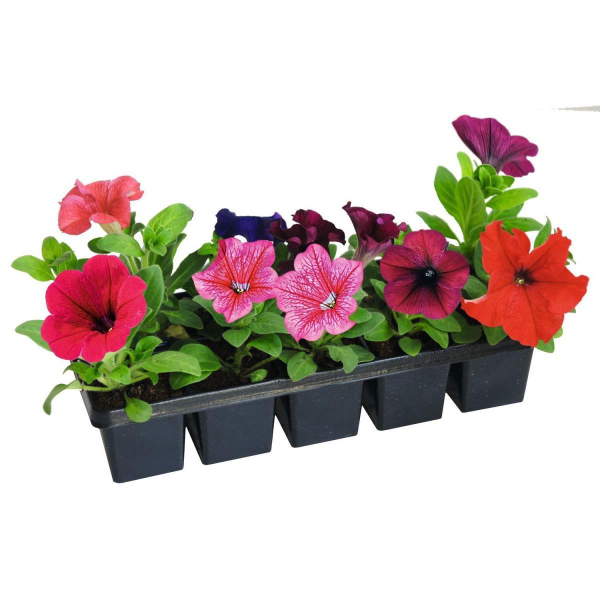 """Petunie """"Grandiflora"""", 10er Tray"""