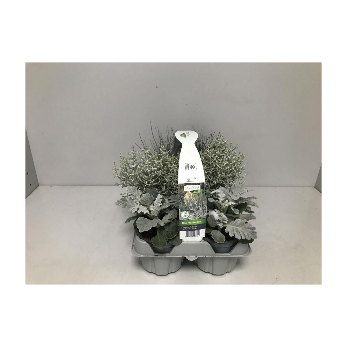 Plantiflor Silberner Herbst 6er-Tray