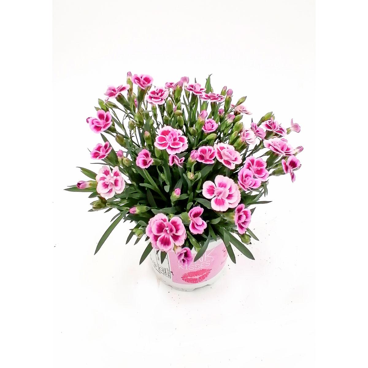 """Stauden-Nelke """"Pink Kisses"""", T10,5"""