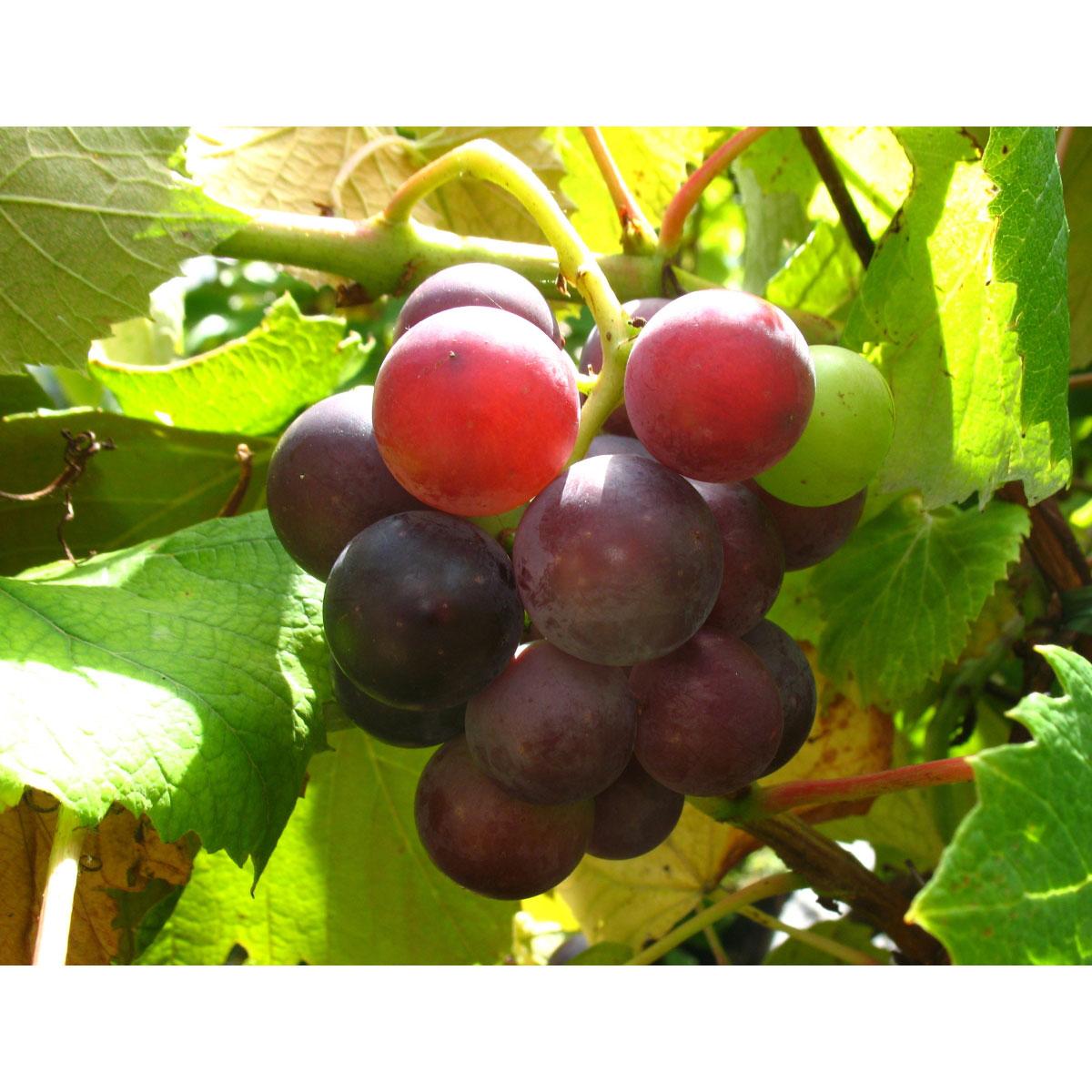 """Weinrebe """"Erdbeertraube"""", rot blau, sehr robust, frostfest"""